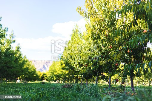 Peaches and Trees in Peach Orchard with Ripe Fruit Hanging from Branches in Western Colorado(Shot with Canon 5DS 50.6mp photos professionally retouched - Lightroom / Photoshop - original size 5792 x 8688 downsampled as needed for clarity and select focus used for dramatic effect)