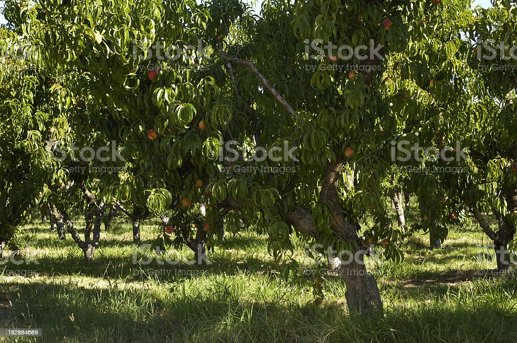 Peach Orchard With Ripening Fruit on Trees royalty-free stock photo