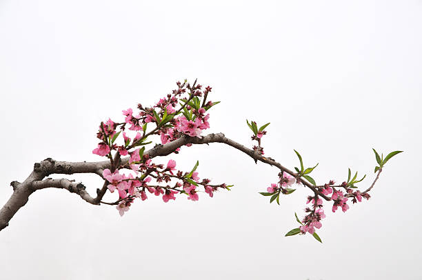 peach - branch plant part stock pictures, royalty-free photos & images