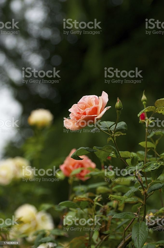 Peach Rose royalty-free stock photo
