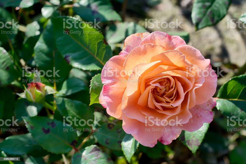 Pfirsich-rose Lizenzfreies stock-foto