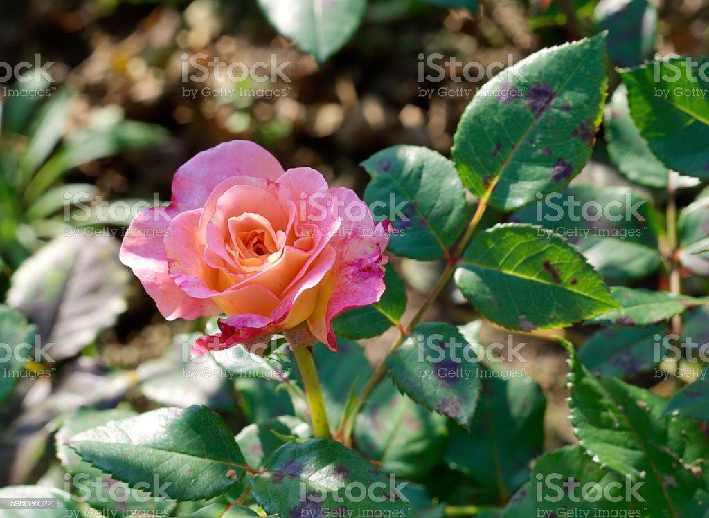 Peach rose royalty-free stock photo