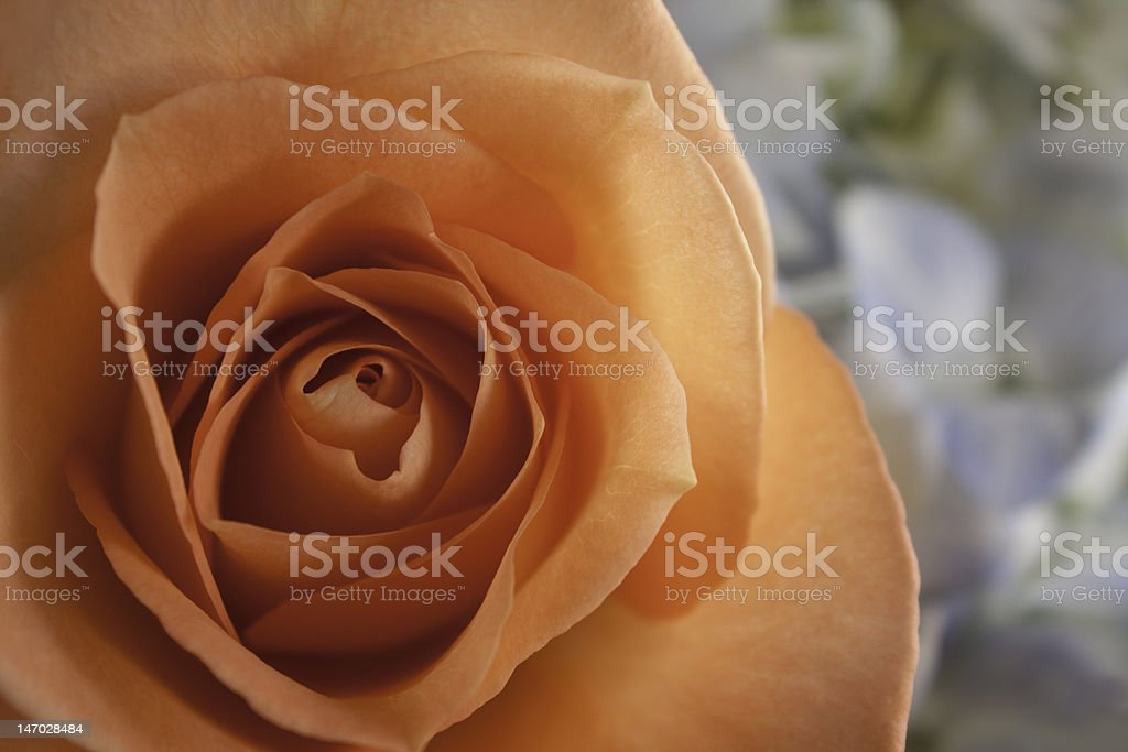 Peach Rose with Copyspace royalty-free stock photo
