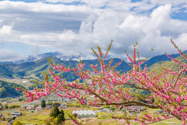 peach tree and mountain - satoyama scenery stock photos and pictures