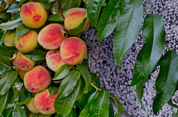 Peach tree branch or Prunus persica with many ripe fruits, recommended as background Peach tree branch or Prunus persica with many ripe fruits, recommended as background, Zavet, Bulgaria advisable stock pictures, royalty-free photos & images