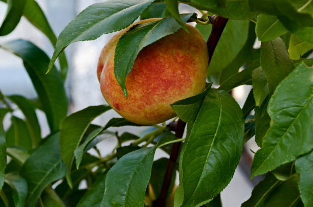 Peach tree branch or Prunus persica with single ripe fruits, recommended as background Peach tree branch or Prunus persica with single ripe fruits, recommended as background, Zavet, Bulgaria advisable stock pictures, royalty-free photos & images