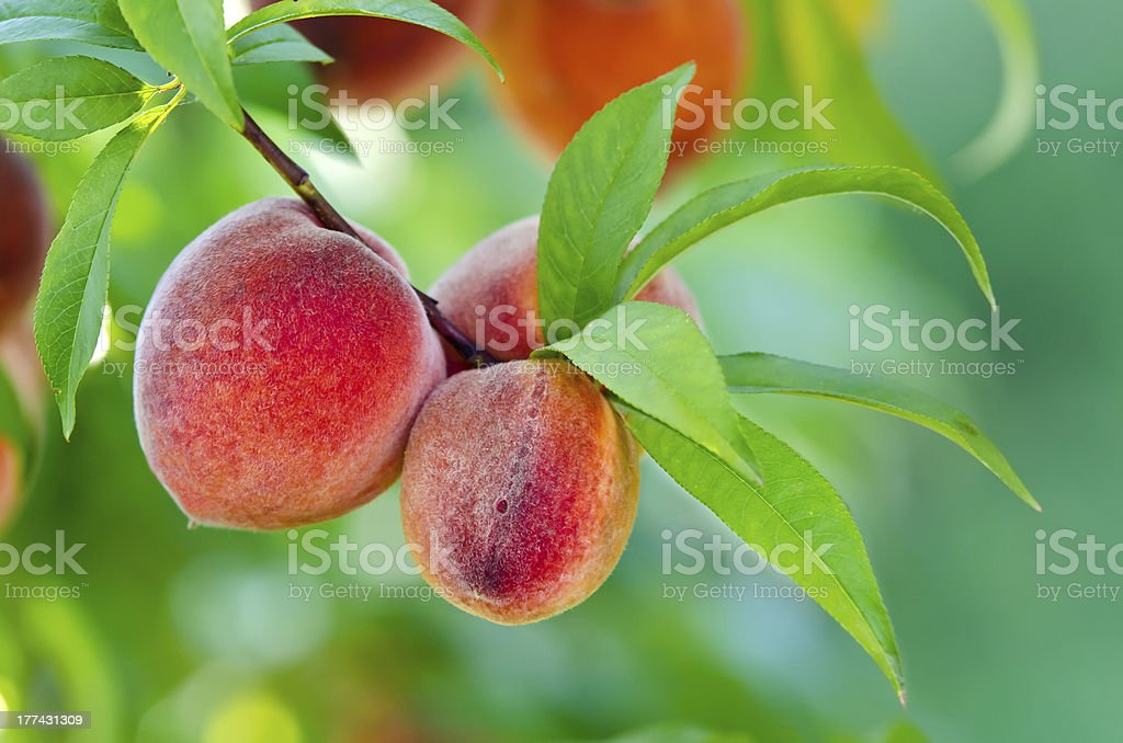 Peach tree closeup stock photo
