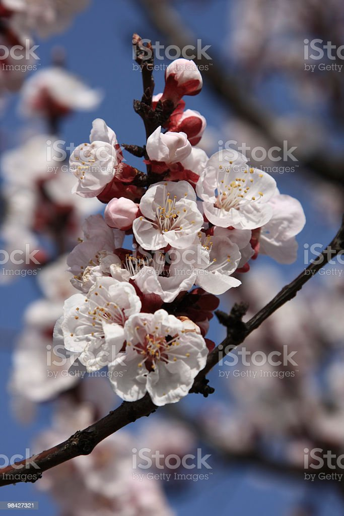 Peach tree flower blooming royalty-free stock photo
