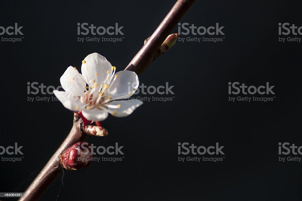 Peach tree flower close up stock photo