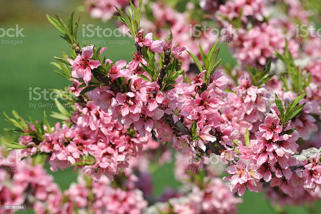 Peach Tree Flowers royalty-free stock photo