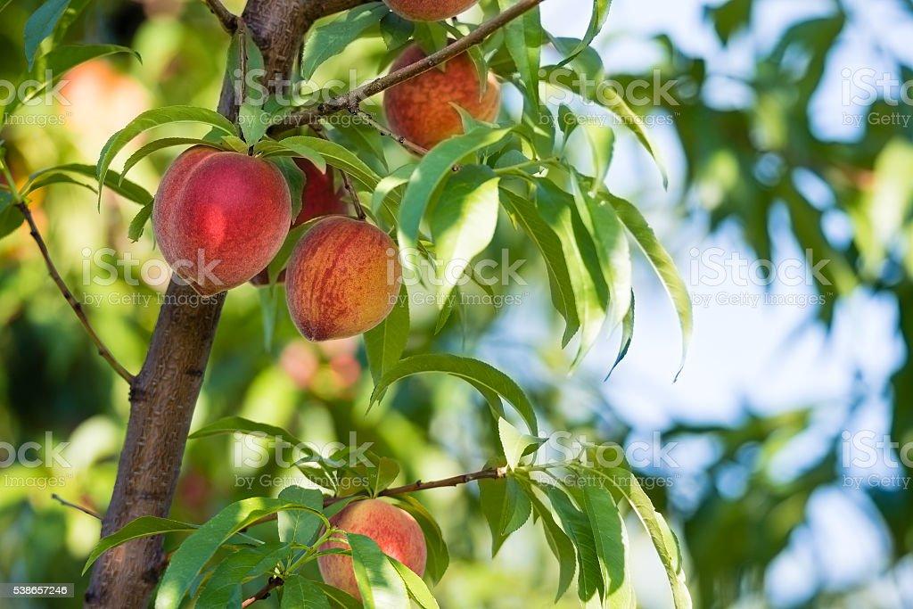 Peach tree fruits stock photo