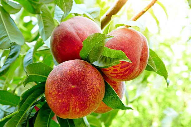 Peach Tree stock photo