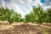 Peach tree with fruits growing in the garden. Peach orchard. Harvest.