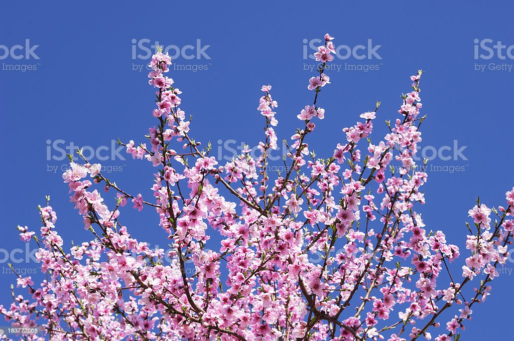 Peach Tree with Springtime Blossoms royalty-free stock photo