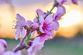 PEach trees blossoms during sunset with amazing colors and lensflares.