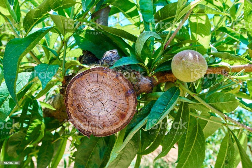 Peach trees field royalty-free stock photo