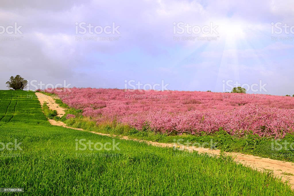 peach trees in a field stock photo