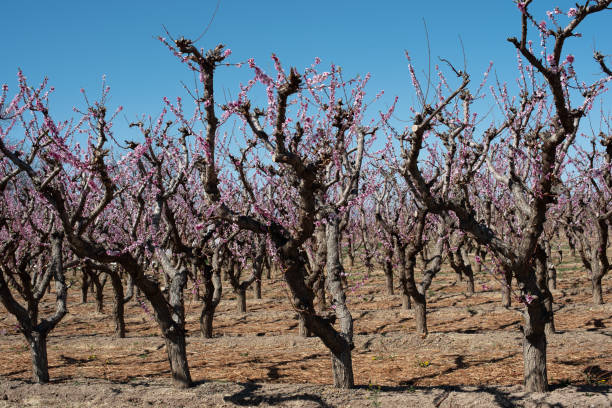 Peach trees in bloom in western Colorado stock photo
