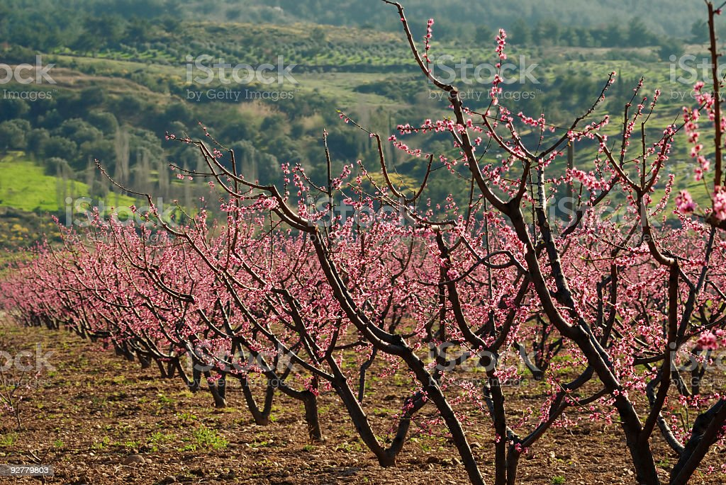 Peach Trees in Spring royalty-free stock photo