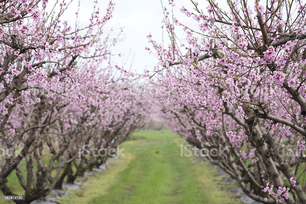 Peach trees line royalty-free stock photo