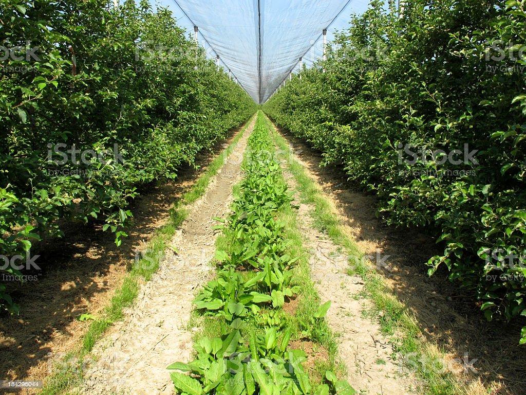 Peach Trees royalty-free stock photo