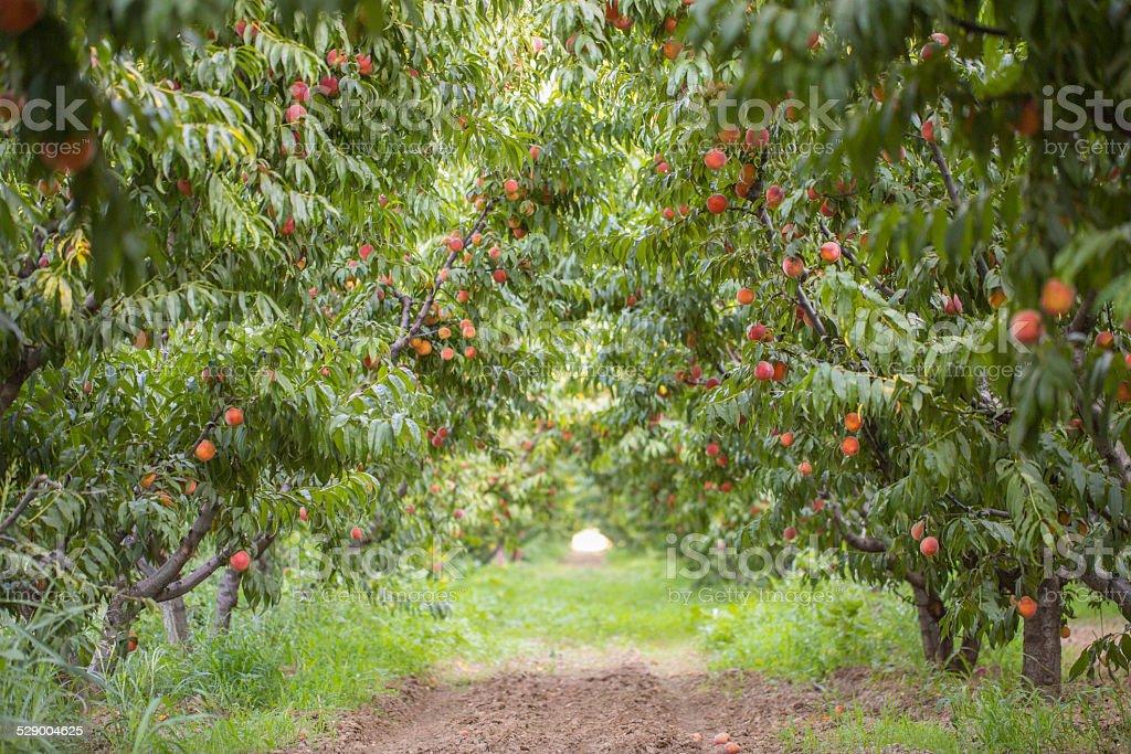 peach trees stock photo