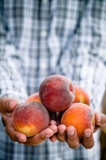 Peaches en mains farmerćs. Fruits frais - Photo