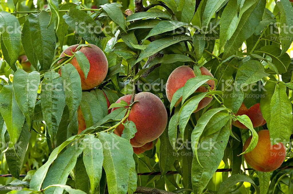 Peaches in the Orchard royalty-free stock photo