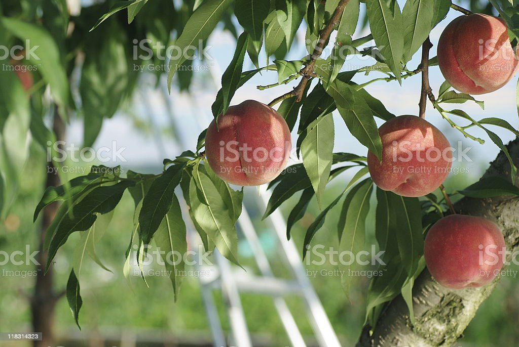 Peaches on a peach tree  Agriculture Stock Photo