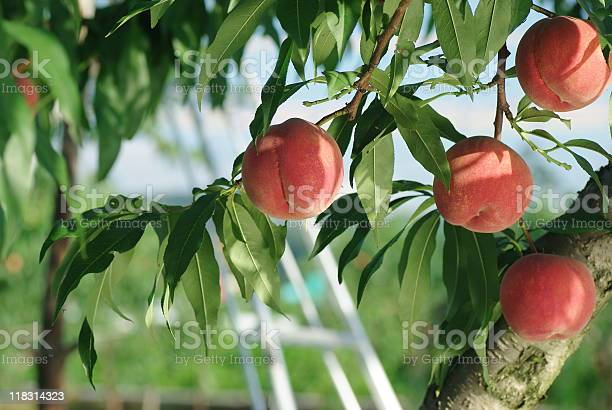 Peaches On A Peach Tree Stock Photo - Download Image Now