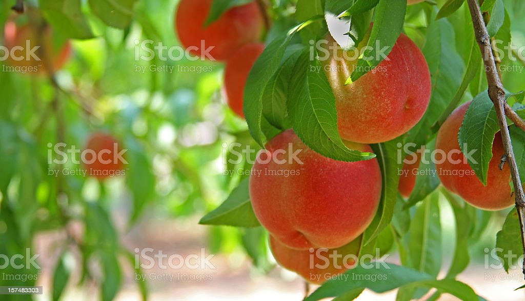 Peaches on a peach tree (close-up) royalty-free stock photo