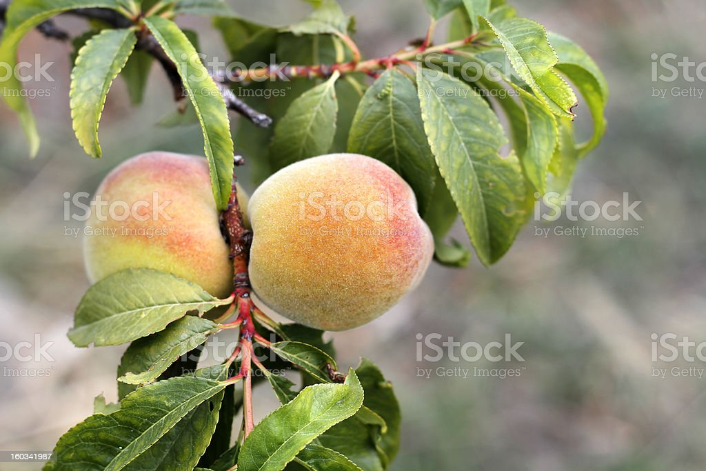 Peaches on Branch royalty-free stock photo
