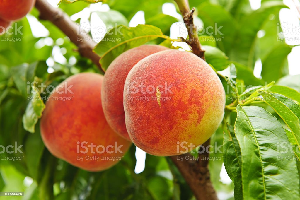 Peaches on tree stock photo