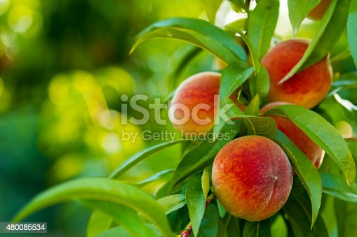 Ripe Peaches on Tree. Shallow DOF.