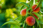 Ripe Peaches on Tree. Shallow DOF.