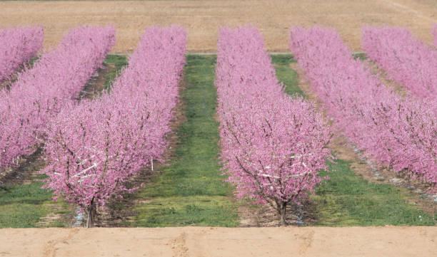 peaches - lleida стоковые фото и изображения