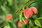 Sweet peaches ripening on peach tree branch in the garden