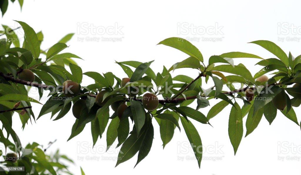 Peaches starting to ripen as summer approaches. zbiór zdjęć royalty-free