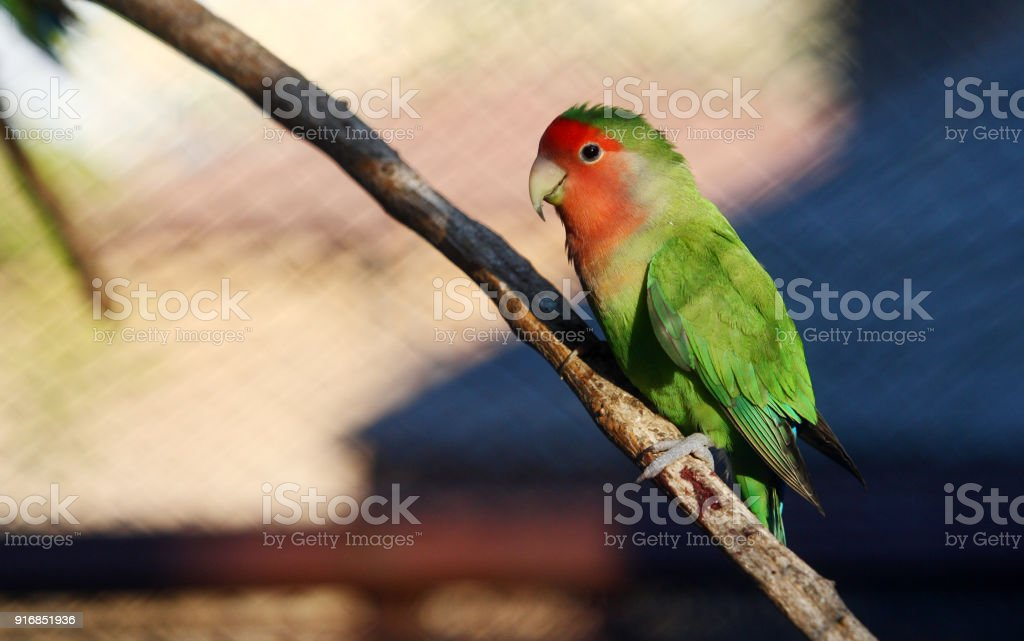 Istock Peach Faced Lovebird Or Rosy Faced Lovebird Standing On A Branch 916851936