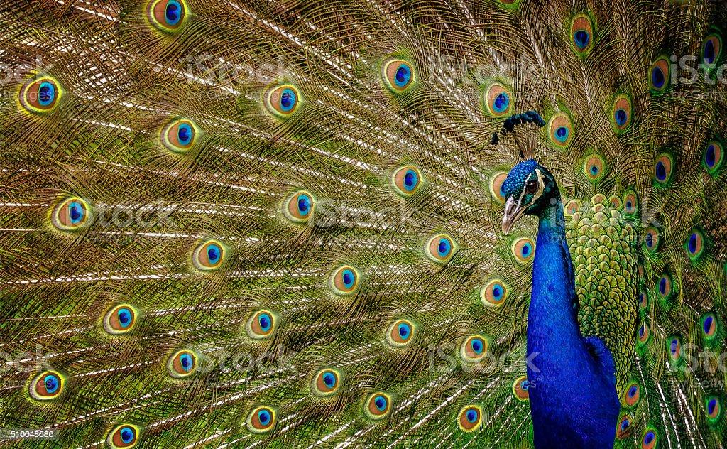 Peacock 2 stock photo