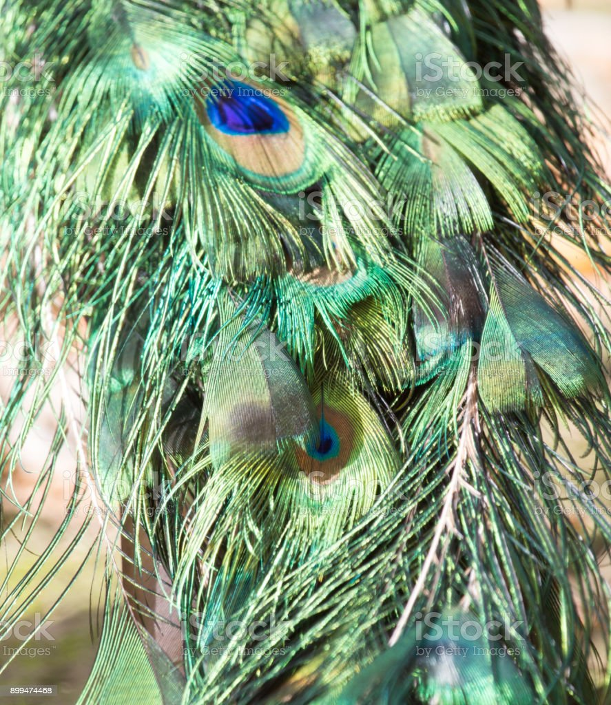 peacock and feathers stock photo