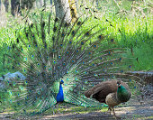 Peacock and peahen courting during spring mating season