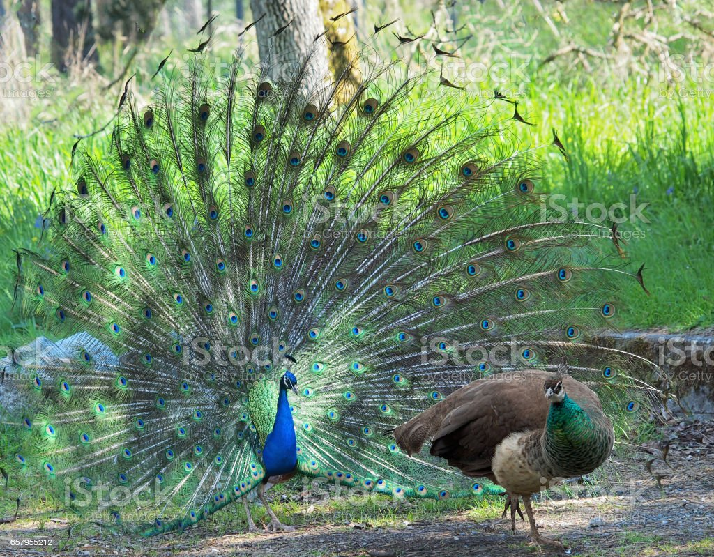 Peacock et paonne courtiser pendant la saison des amours de printemps - Photo