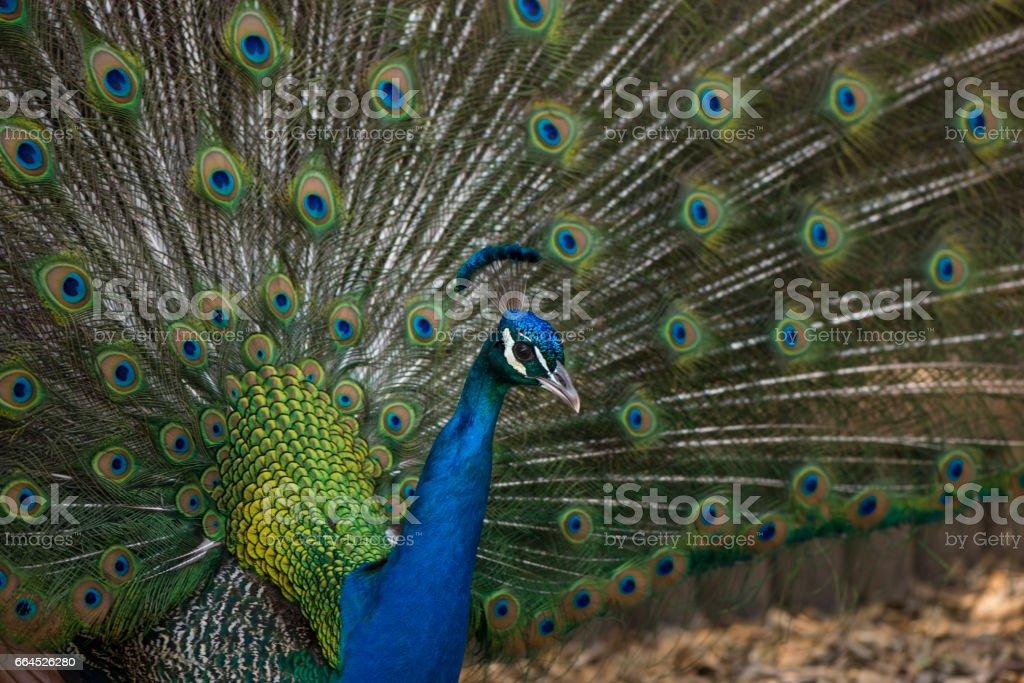 Peacock bird. stock photo