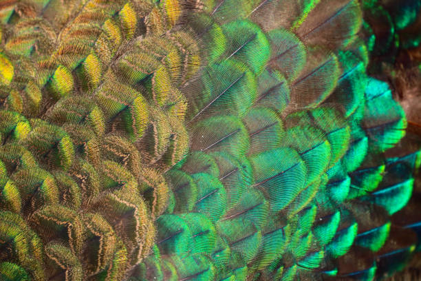 Peacock body feather background stock photo