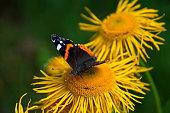 istock Peacock (Agleis io) Butterflie on sunflower. Bavaria, Germany. 1231476105