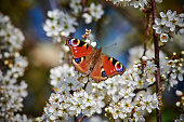 A peacock butterfly nectaring from some Hawthorn blossom at RSPB Radipole.