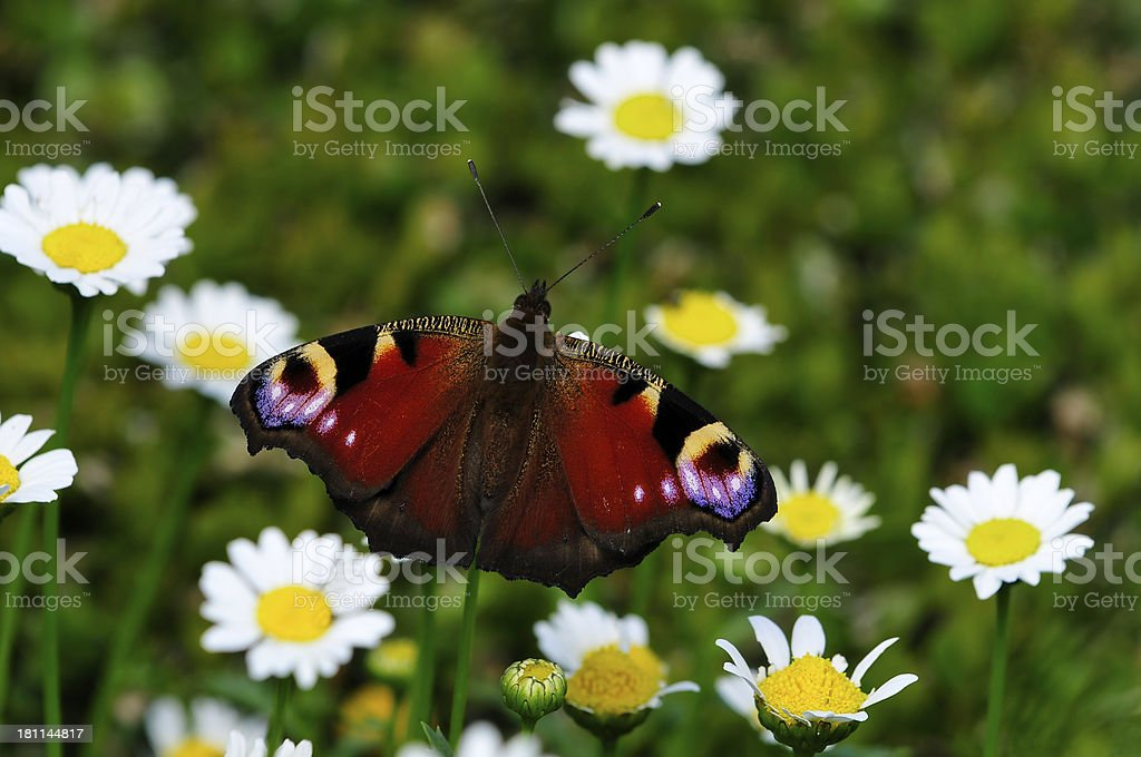 Peacock butterfly and daisies royalty-free stock photo