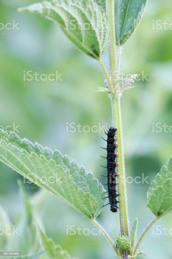 Peacock Butterfly (Inachis io) Caterpillar stock photo