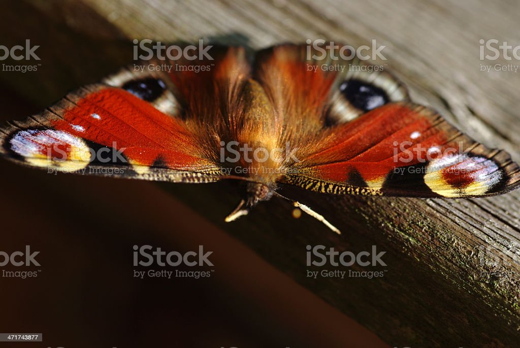 Peacock Butterfly in close-up royalty-free stock photo